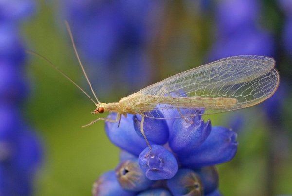 """Lacewing"" by nutmeg66 on Flickr (CC-A licensed)"