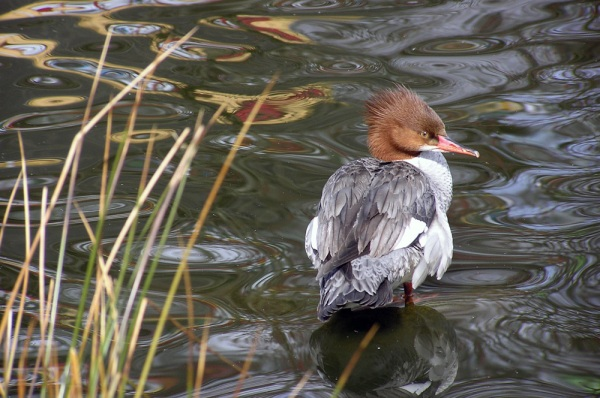 """Common Merganser"" by Epicurvegan on Flickr (all rights reserved)"