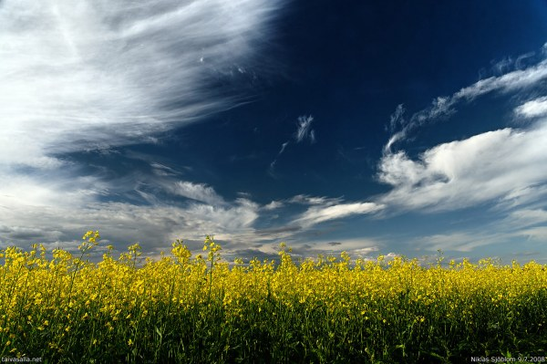 """Rapeseed Field"" by taivasalla on Flickr (CC-A licensed)"