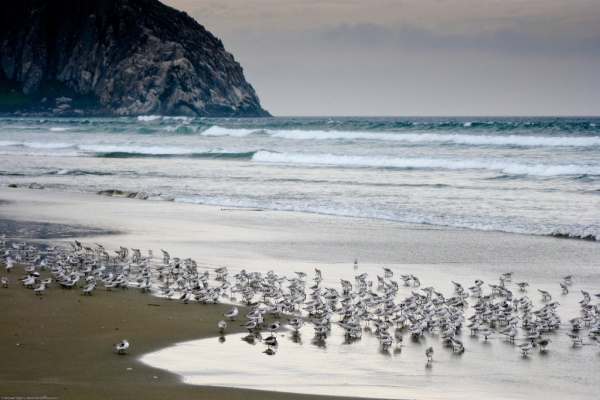 """Sanderlings (birds) on Moro Strand State Beach"" by mikebaird on Flickr (CC-A licensed)"