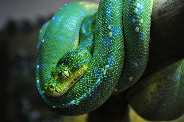 """Green Tree Python"" by schristia on Flickr (CC-A licensed)"