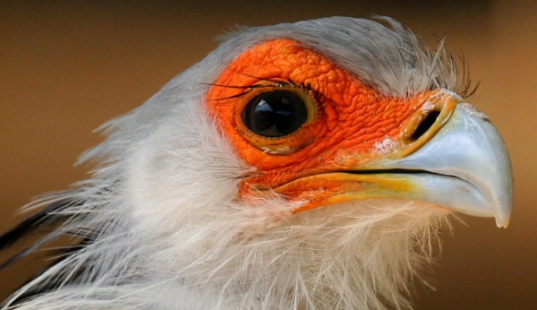 """Secretary Bird"" by dracobotanicus on Flickr (CC-A licensed)"