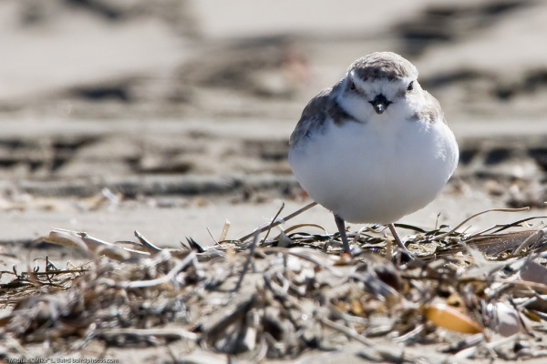 """Western Snowy Plover"" by mikebaird on Flickr (CC-A licensed)"